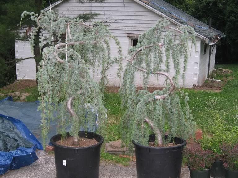 Weeping Cedar Tree Re Bought Two Blue Atlas Trees Not Sure On