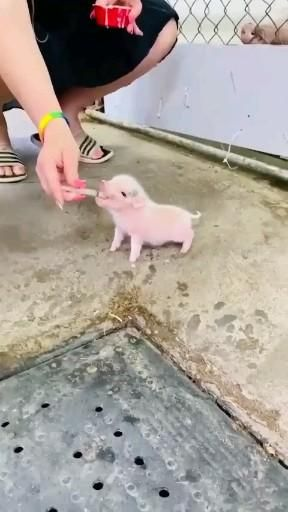 Cute Hungry Piglet 😍🔥