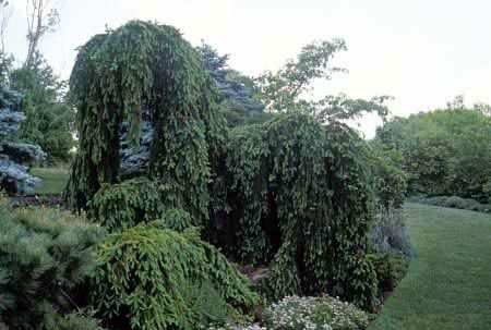 Weeping Norway spruce | Garden Trees - Small Landscape ...