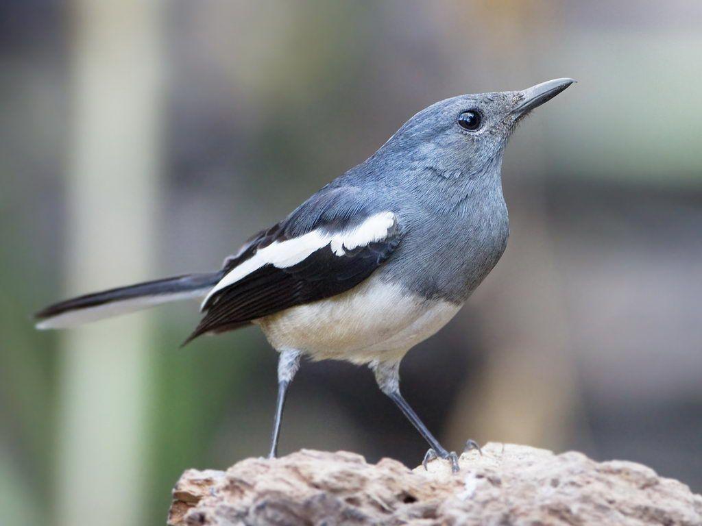Betina Burung Burung Pengicau