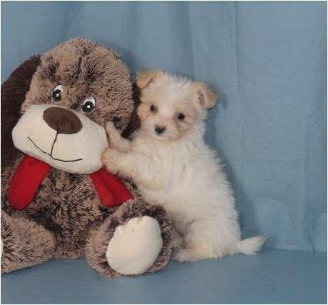 Papitese Puppy For Sale In Tucson Az Adn 55819 On Puppyfinder