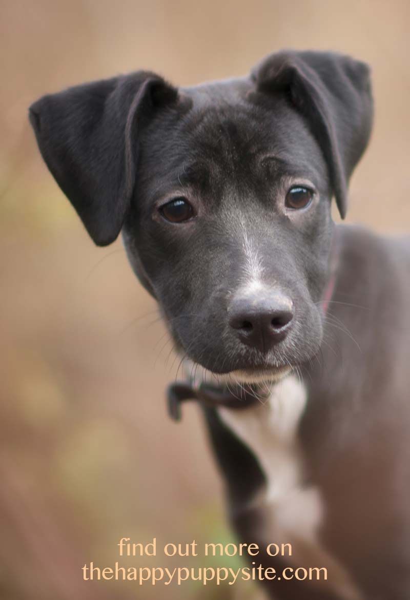 Adopting vs buying a dog or puppy the happy puppy site