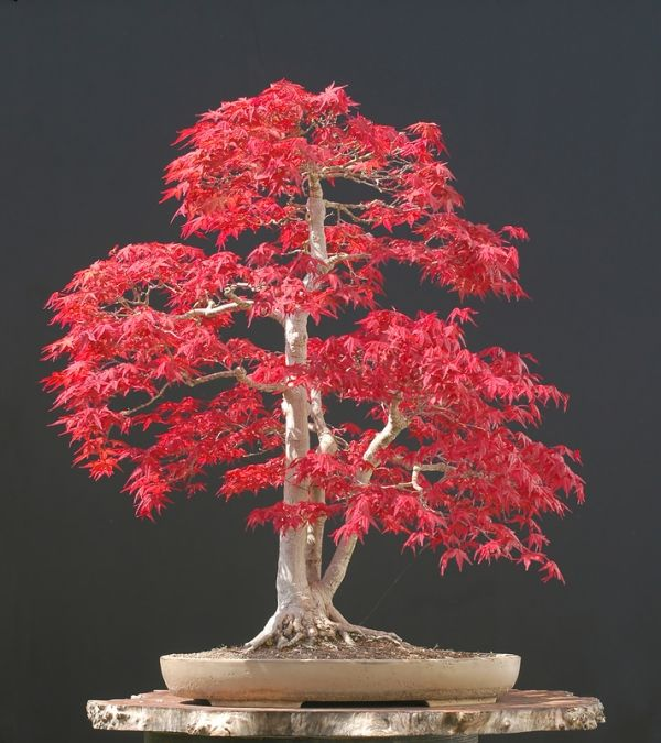 basiswissen über den bonsai baum – geeignete arten und pflegetipps, Garten und Bauten