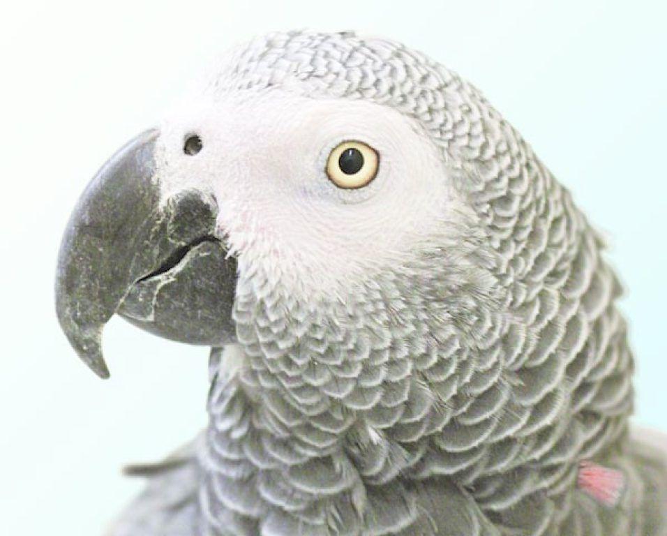 California Parrot, Missing for 4 Years, Returns Speaking