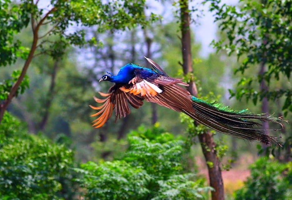 990 Gambar Burung Merak India Terbaik