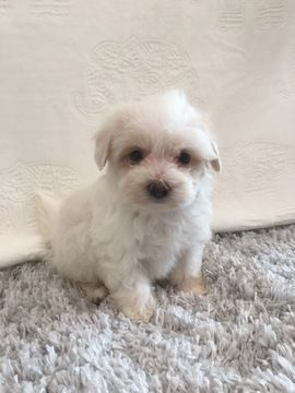 Maltipoo Puppy For Sale In Hampshire Il Adn 24313 On Puppyfinder