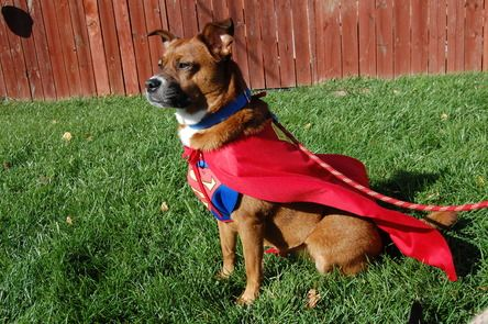 Please Vote For Rosie The Superdog Rosie Is A Rescue Dog Loving Member Of Our Family And Certifie Halloween Costume Contest Halloween Costumes Therapy Dogs
