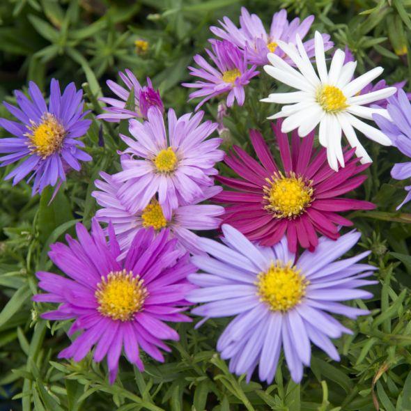 Aster D Automne En Melange Aster Novi Belgii In 2020 Aster Flower Aster Flower Tattoos Bee Garden