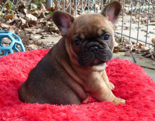 De Calida Reg D French Bulldogs With Images French Bulldog
