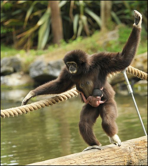 Gibbon mum and baby(jimmyedmonds)