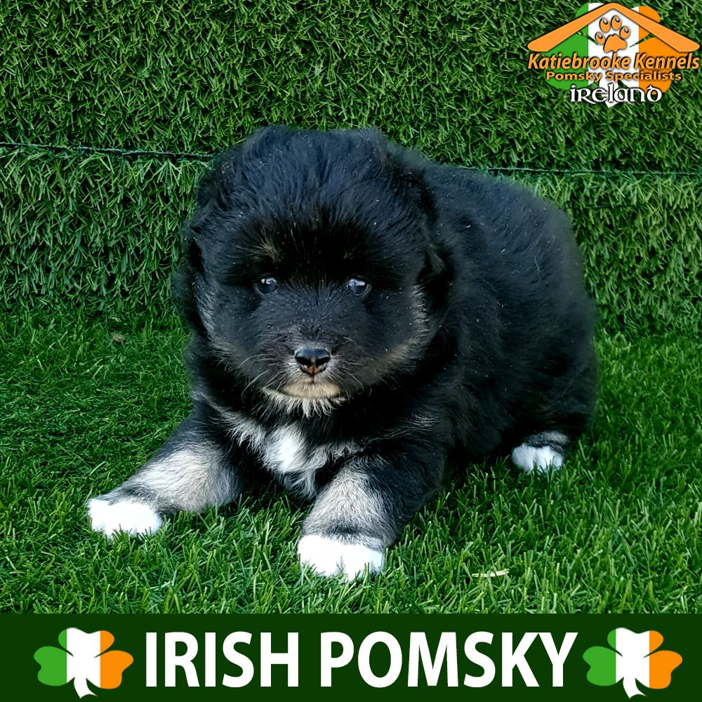 Katiebrooke Kennels Pomsky Specialists Ireland Price 2000 F2 Pomsky Puppy Sunny Parti Eyes X Male X Black White And Brown Mark With Images Pomsky Puppies Pomsky Puppies