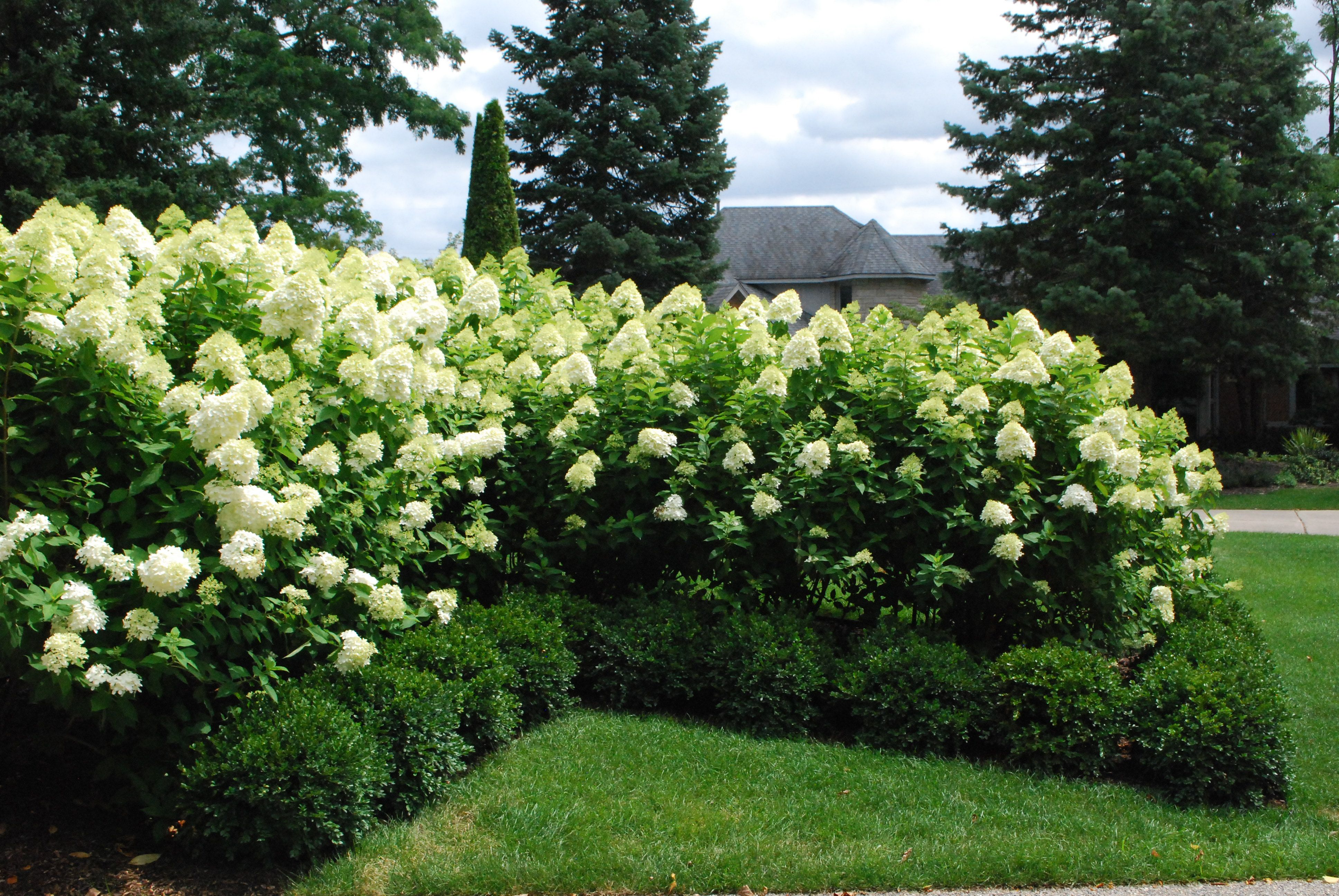 limelight hydrangeas landscaping