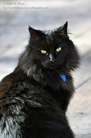 black ragdoll cat google search ragdoll cats pinterest