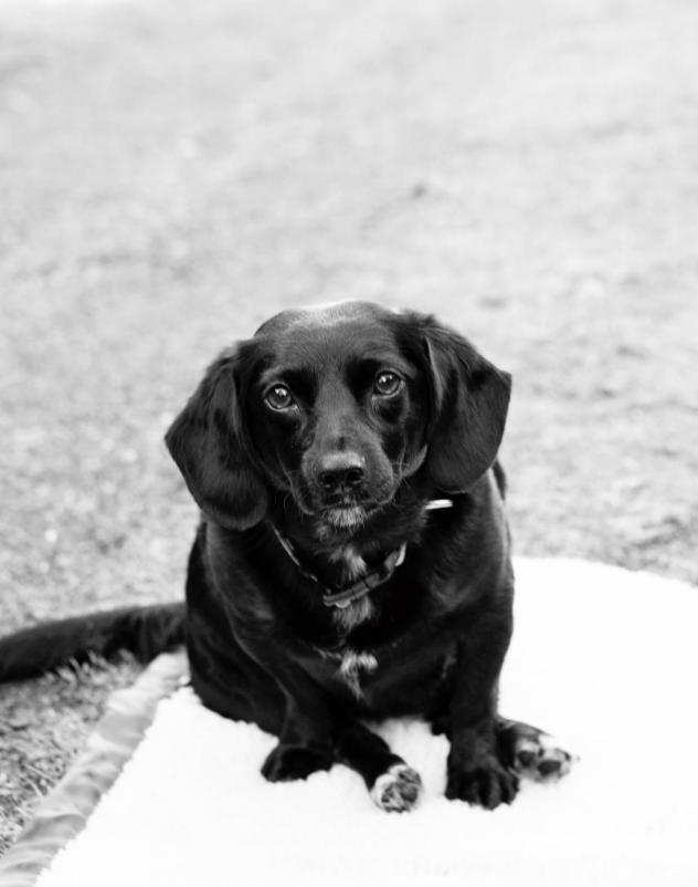Adopt Sammie On Adopted Dachshund Mix Beagle Adoptable Beagle