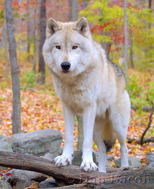 Wolf at Lakota. From the Photography collection of Dan Bacon Founder of Lakota Wolf Preserve. Follow us @madetoorderjewelers on Instagram, Tumblr & Facebook for more of Dan's photography. Stop in at our store to see and purchase prints. Made To Order 44 Main Street, Clinton, NJ