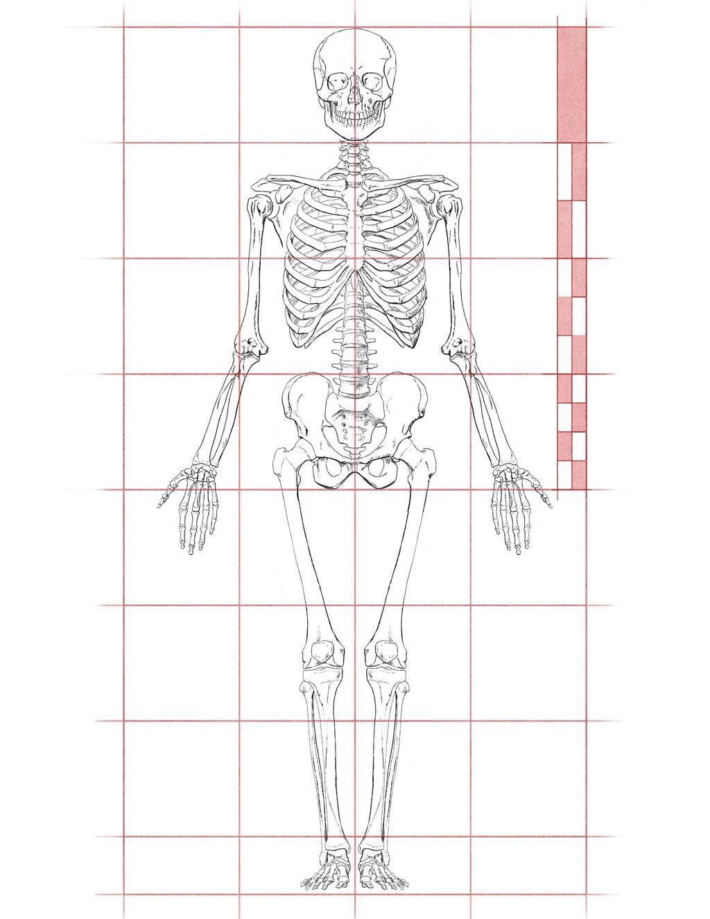 artistic anatomy dr paul richer skeletal study 7 1 2 head proportion study artstudy artanatomy humanproportion proportion skeleton hartman [ 1024 x 1325 Pixel ]