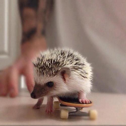 Baby Hedgehog Skateboarding