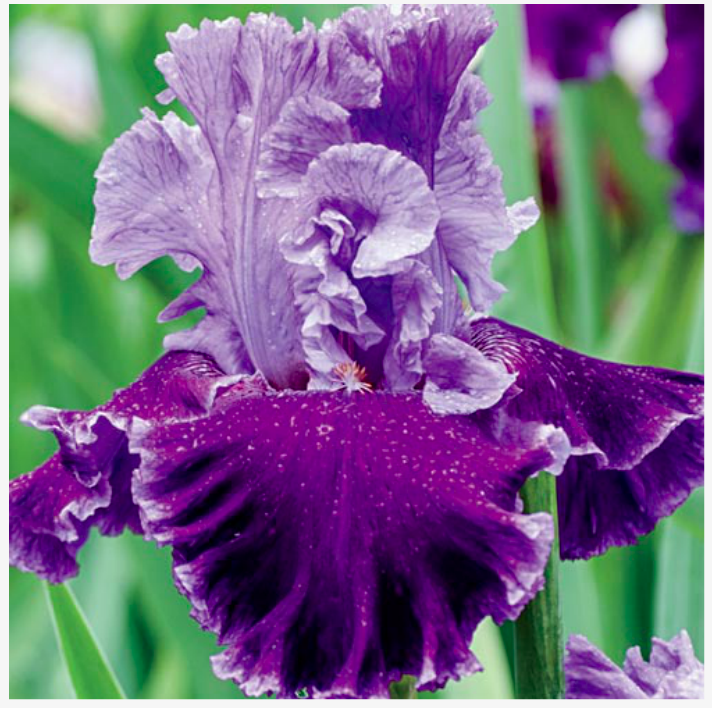 Pin By Madame Defarge On Flowers Flowers To Paint Iris Flowers Iris Garden Bearded Iris
