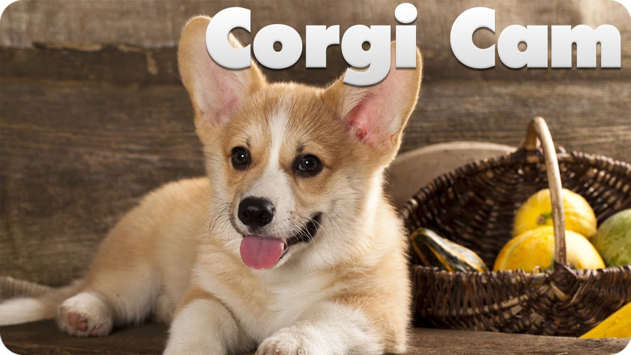 Corgi Puppy Cam Live At Youtube Corgi Puppy Corgi Puppy Cam