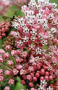 Asclepias incarnata - Swamp Milkweed wildflower prefers damp and swampy ground.