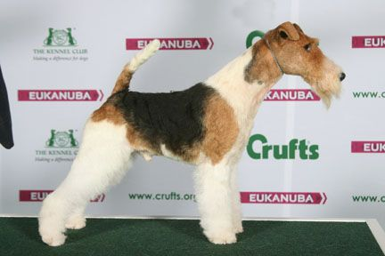 Crufts 2015 Results Fox Terrier Wire Terer Sobaki