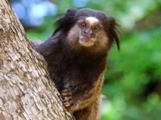 Black Tufted Marmoset Amazon Rainforest Animals Monkey Species