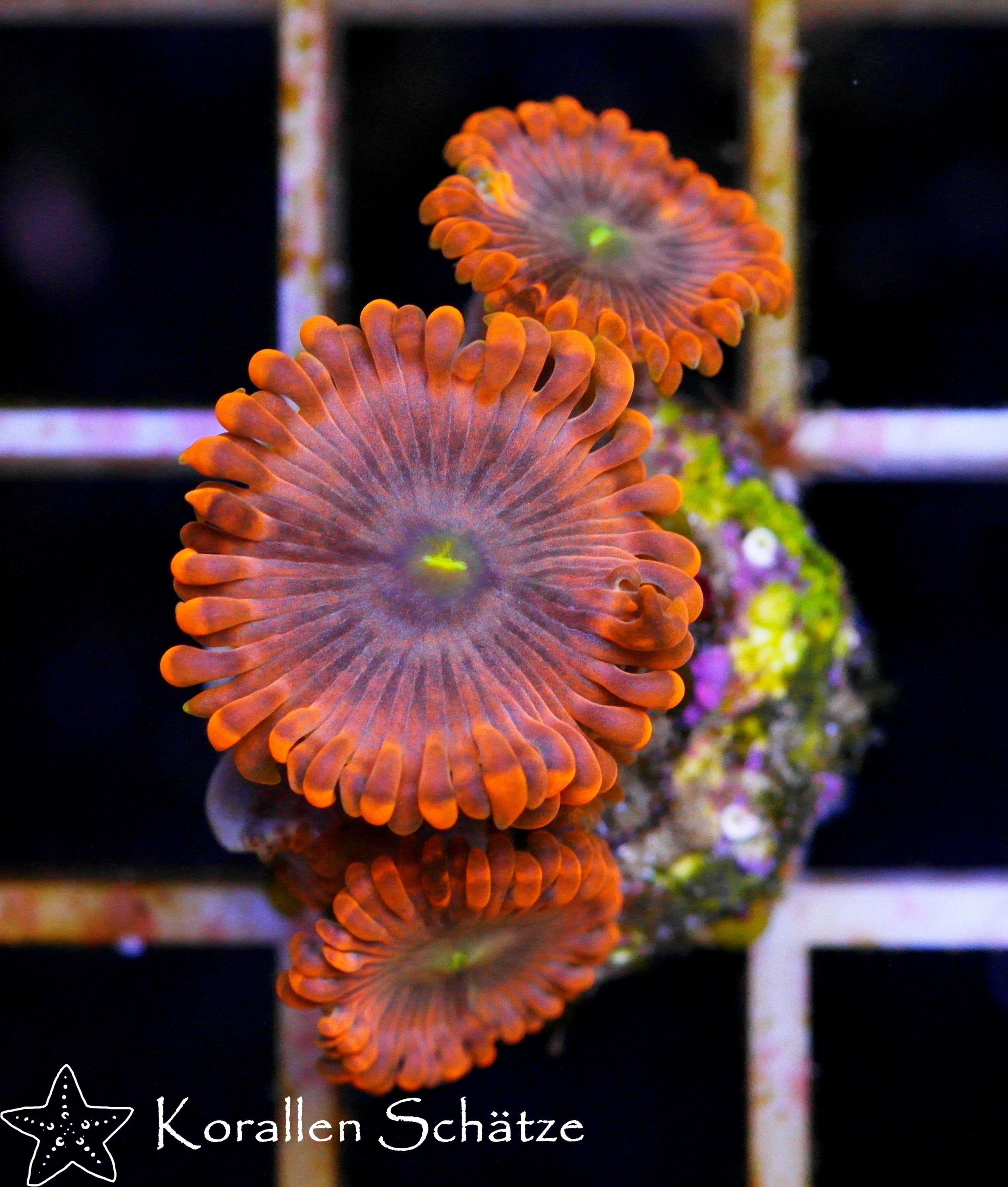Orange Delight Zoa Marine Fish Tanks Planted Aquarium Aquarium Fish