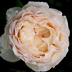 Garden Rose Close to a Peony but less expensive Love this cost