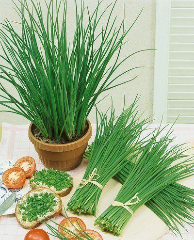 Top 5 Easy To Grow Herbs Indoor Or Outdoor Herb Seeds Growing Herbs Allium Schoenoprasum