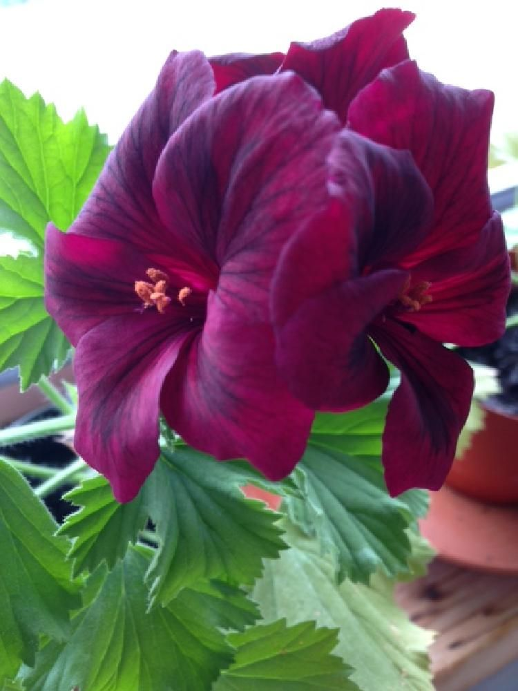 engelsk pelargona by ingmarie.regner