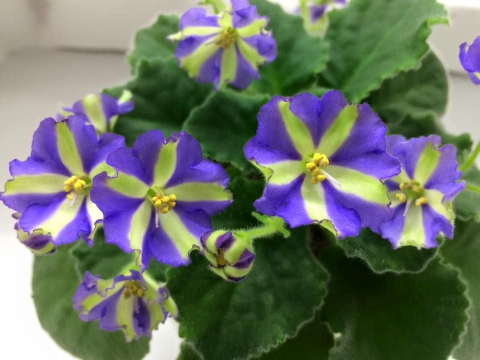African Violet 'Yukako' is a stunning standard blue and ...
