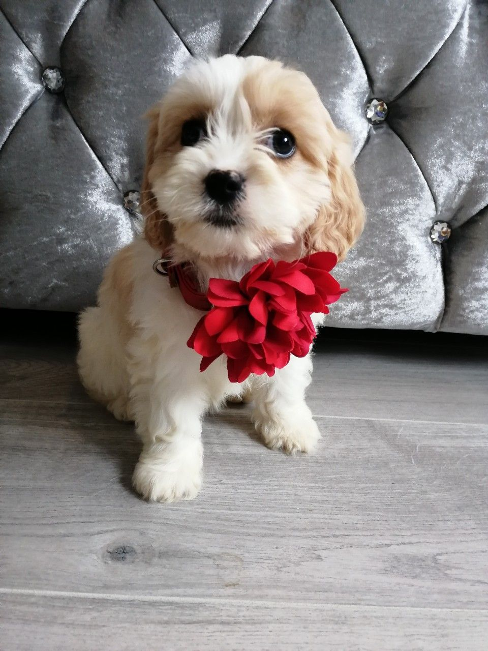 Kuwait Dogs And Puppies Adoption And Sales Email Us At Khaleelsalafi Hotmail Com Stunning Cavachon Puppies Puppies For Sale In Kuwait Cavachon Puppies Ca