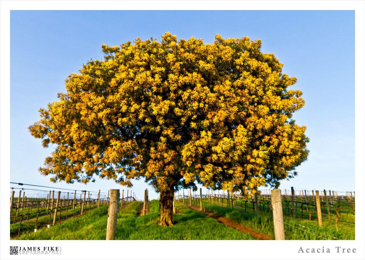 Acacia Tree Doga