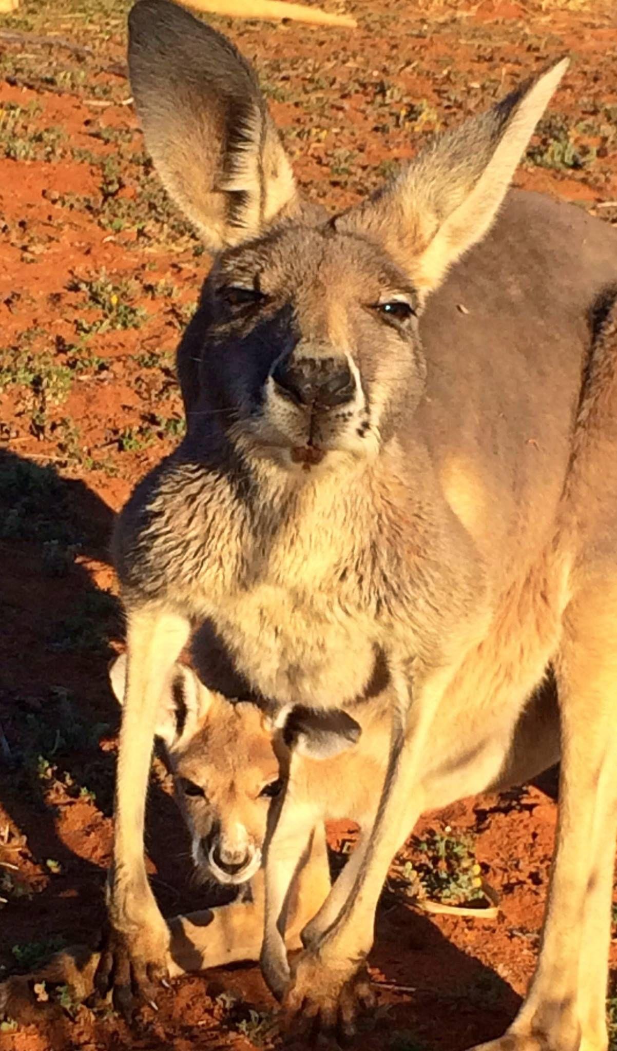 Australian native animals by Elizabeth Olah Stojanovski on