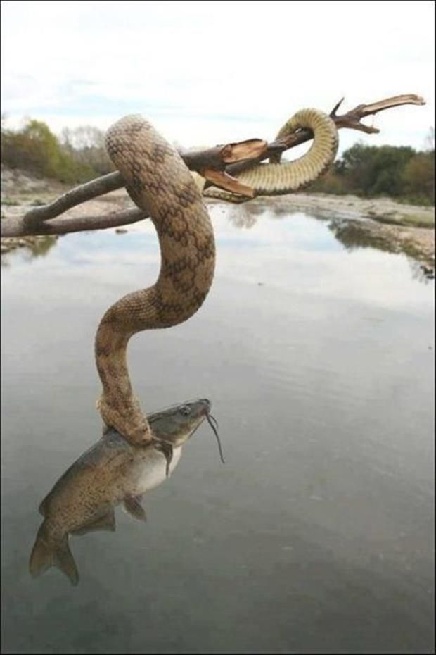 Snake catches fish!