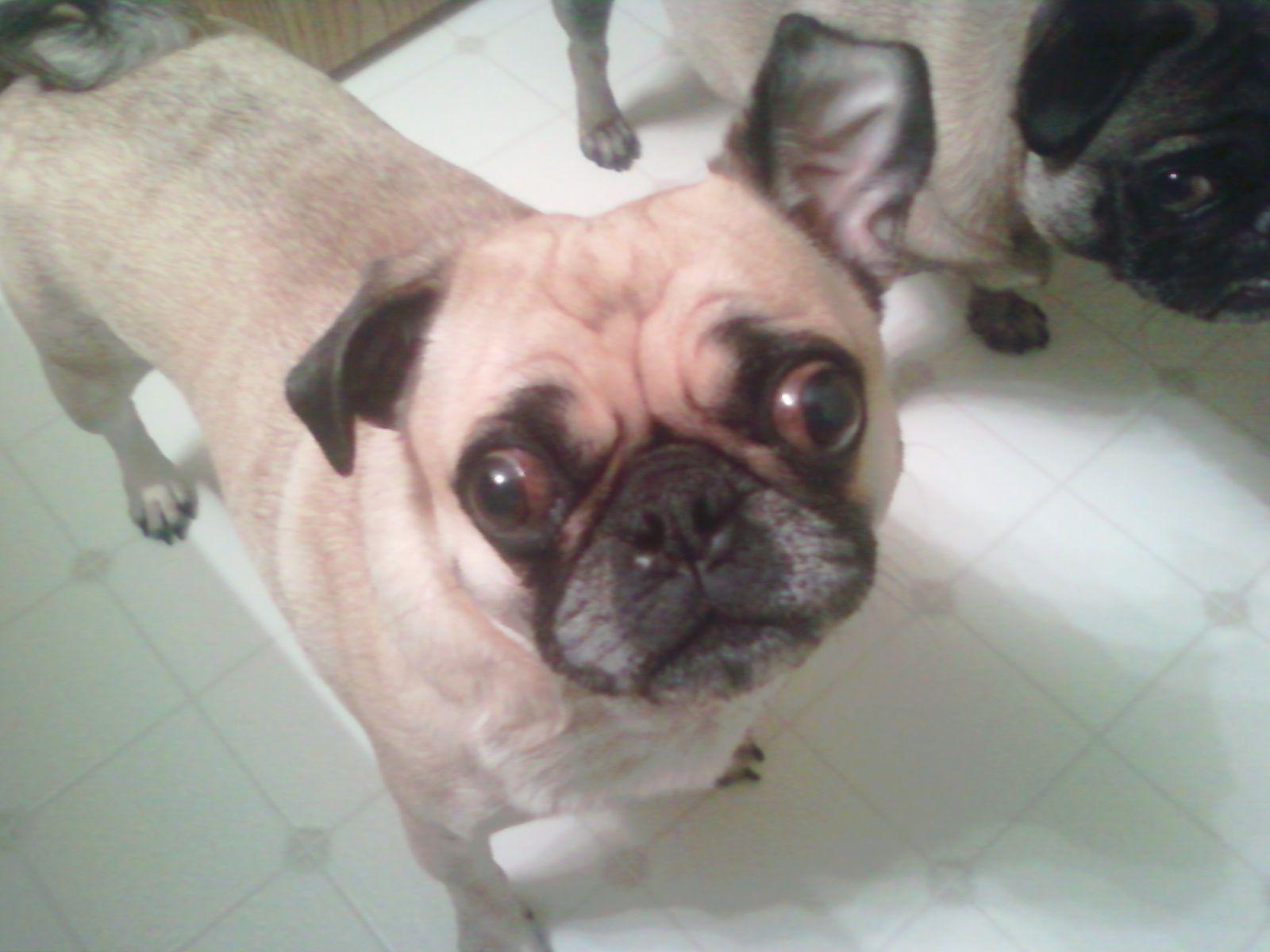 Pug - I hear you!