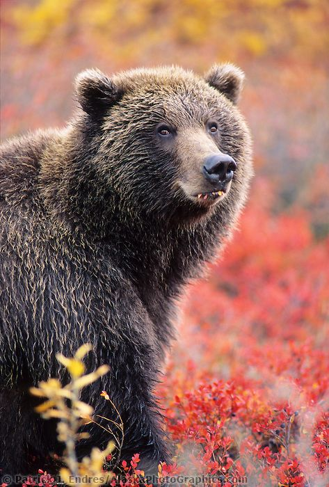 Female grizzly bear in autumn blueberry patch in Denali National ...