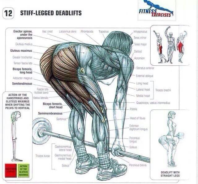 Pin de Ben en Muscle | Pinterest | Ejercicios, Anatomía y Piernas