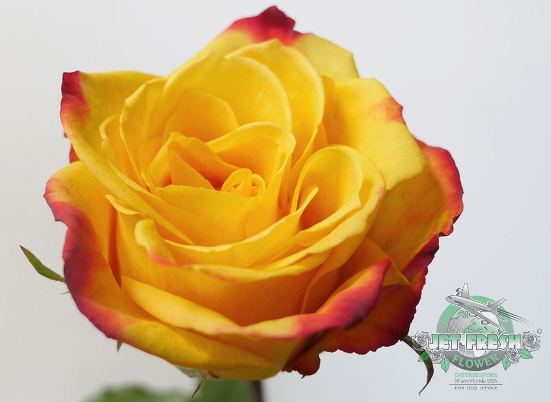 Pin on Lovely Roses