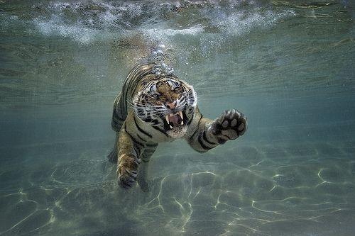 Splash Zone San Diego Zoo Safari Park Big Cats Animals Beautiful