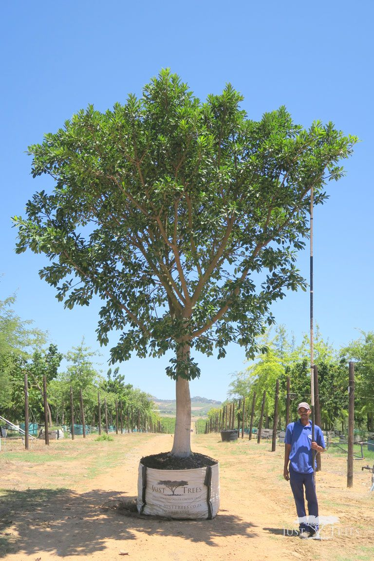 1000l ficus natalensis this fast growing evergreen tree for Fast growing trees