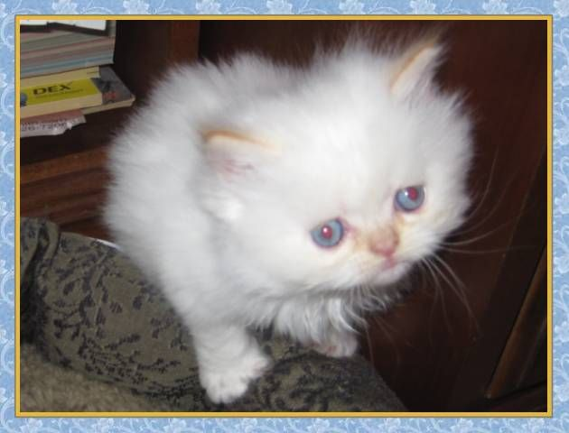 Himalayan Kittens Are Creamy White When First Born In 4 6 Weeks The Color Points Start To Show Himalayan Kitten Himalayan Kittens For Sale Kittens