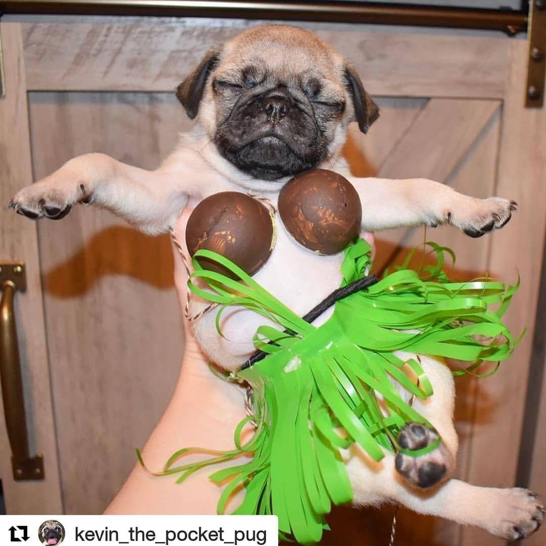 He Is Lovely Pugs Pug Pugsofinstagram Puglife Puglove