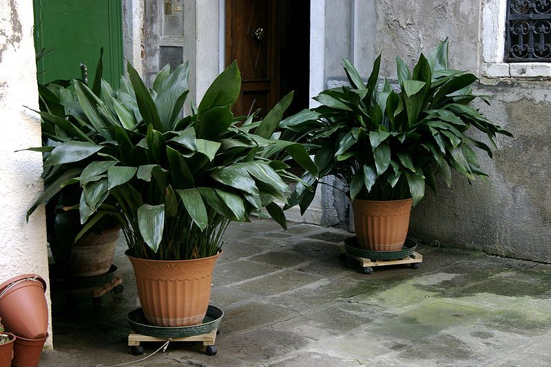 7 Indoor Plants That Are Safe For Pets Also Improve Our Health Plants Iron Plant Cast Iron Plant
