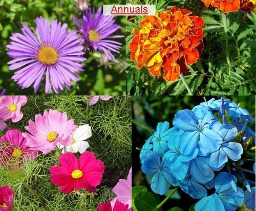 Flowers and plants large or small annual biannual or for Small perennial trees