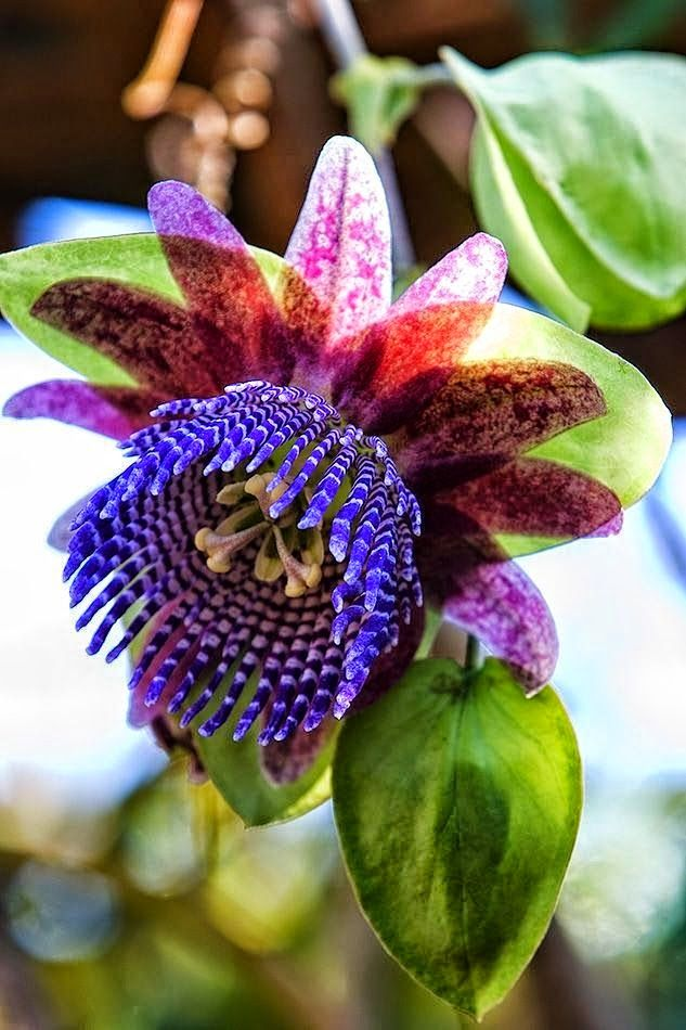 Passion Flower Triloba Passiflora Triloba Impressive Large Fragrant Flowers Make Passion Flower Triloba A Beautiful Flowers Unusual Flowers Amazing Flowers