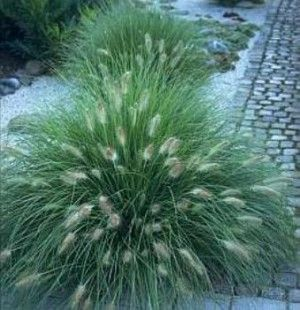 Dwarf fountain grass pennisetum alopecuroides 39 hameln for Full sun perennial grasses