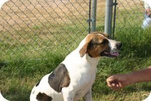 Quinlan, TX - Hound (Unknown Type) Mix. Meet Koonie a Dog for Adoption.