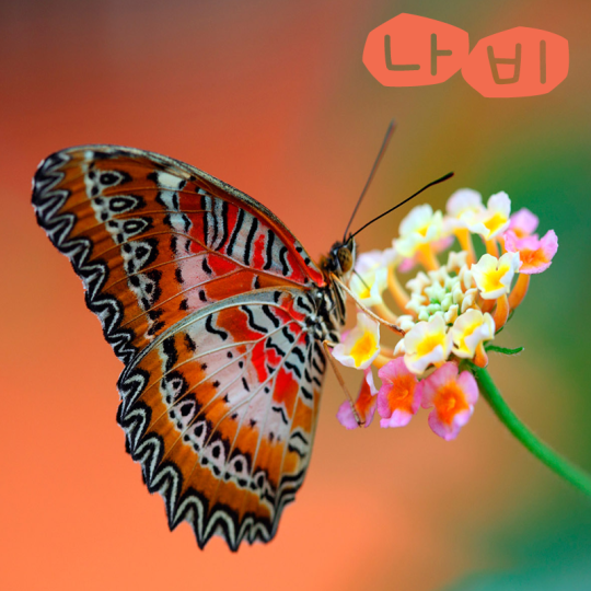 """Butterfly = 나비 (""""nab-ee"""")"""