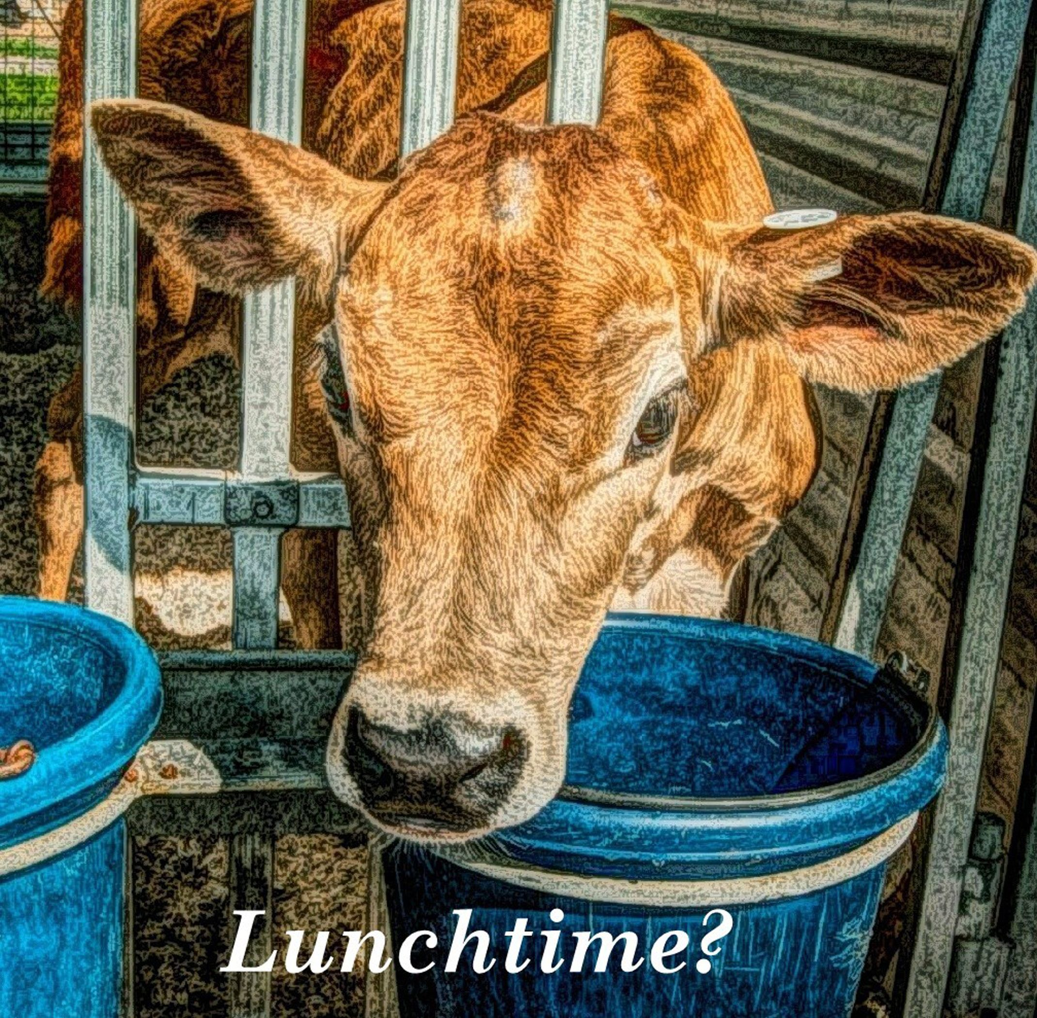 Lunchtime Meme Cow Looking For Grain 300 Dpi